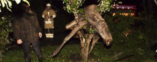 Drunk Swedish Moose Gets Caught in Tree